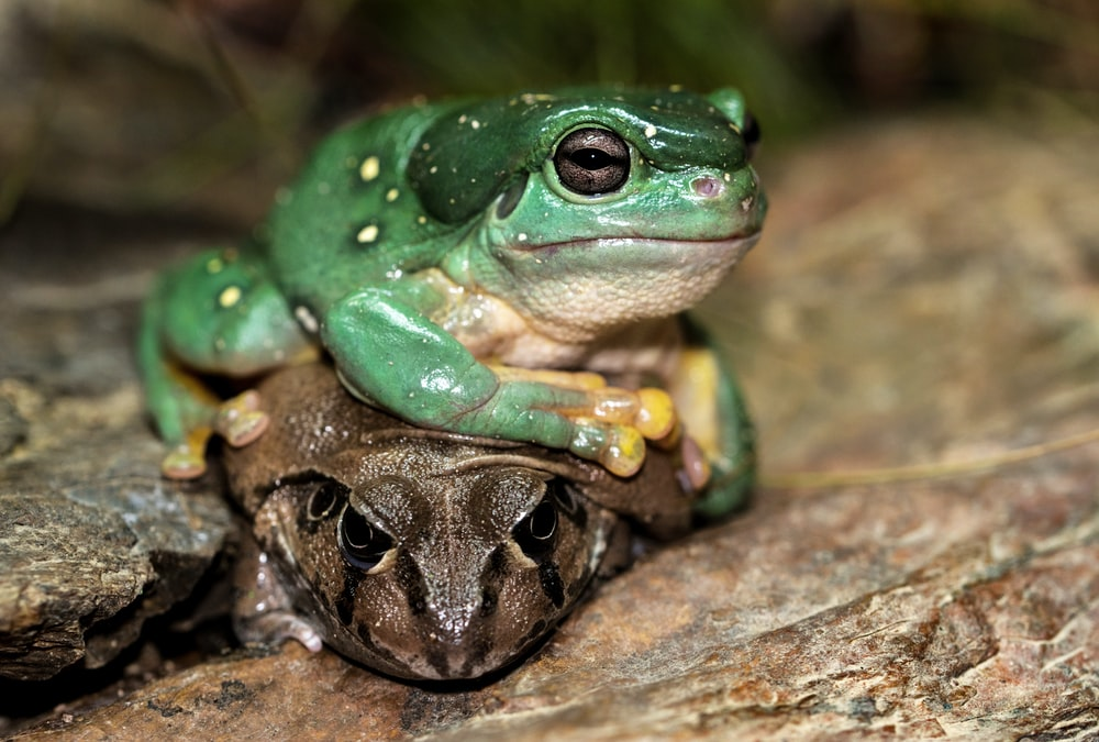 shallow focus photography of brown and green frogs
