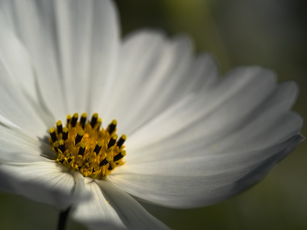white and yellow pollen flower
