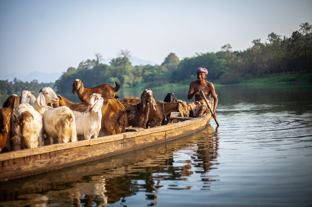 group of goats on boat