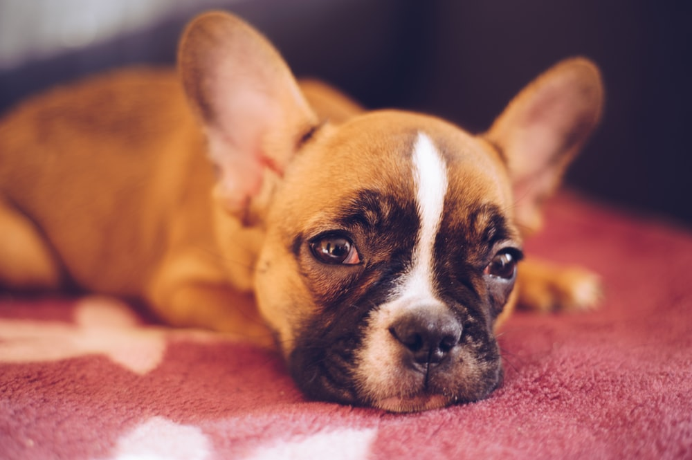 brown French bulldog lying on red textile