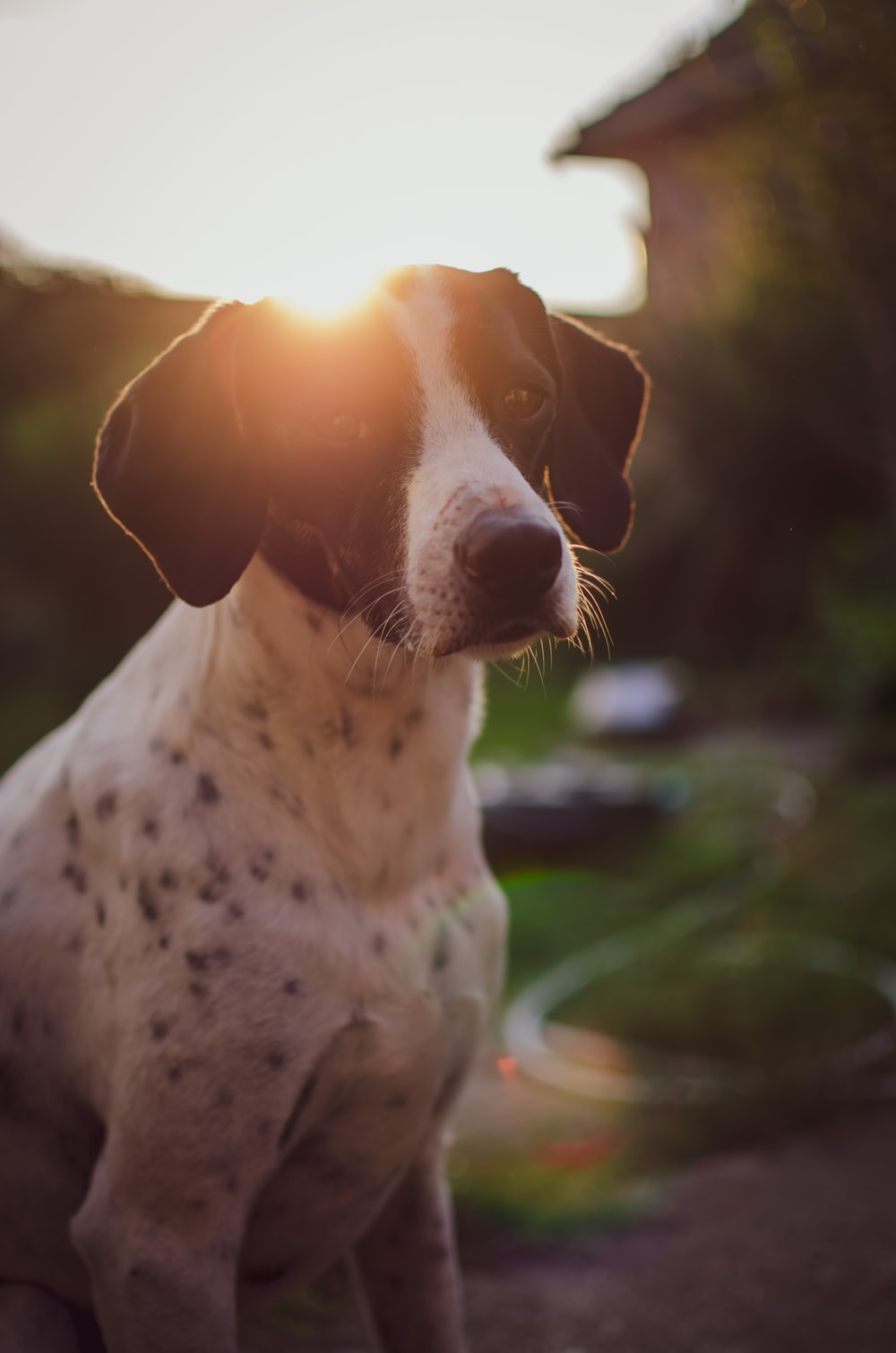 selective focus photography of short-coated white and black dog