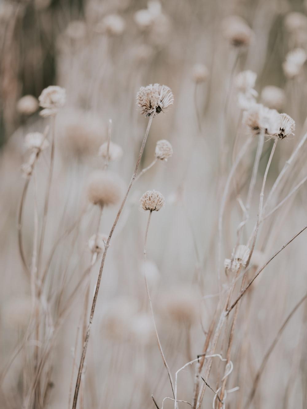 closeup photo of dandelion