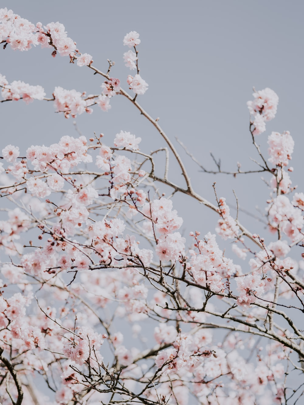 cherry blossom at bloom