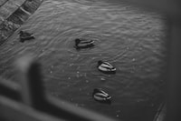 grayscale photo of four ducks