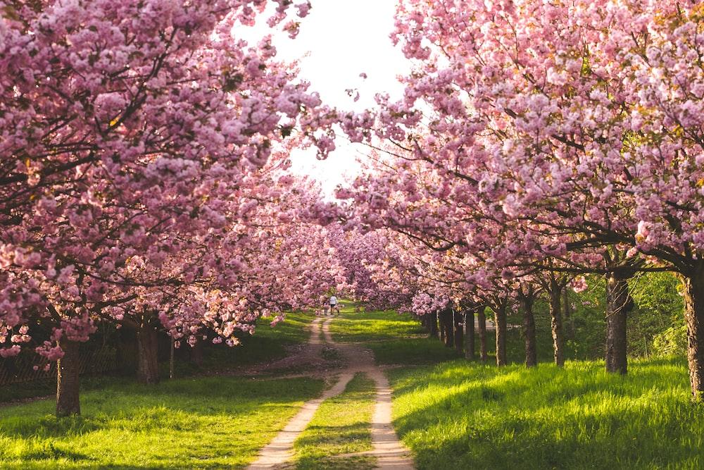 pathway between cherry blossoms
