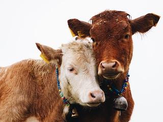 ¿Cómo detectar el celo en vacas?
