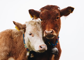 two brown cattles