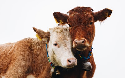 two brown cattles cow zoom background