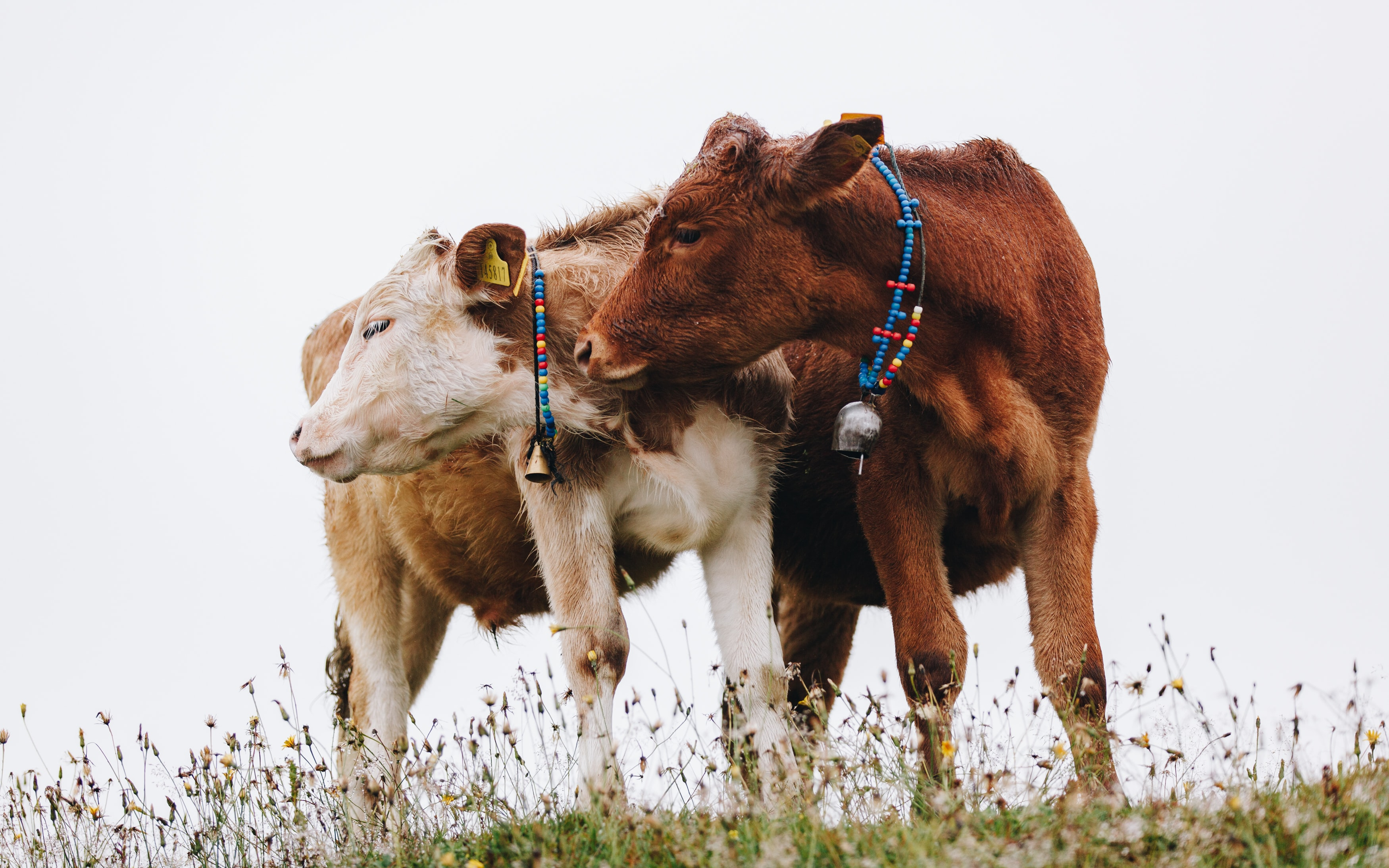 two brown and white cow animal