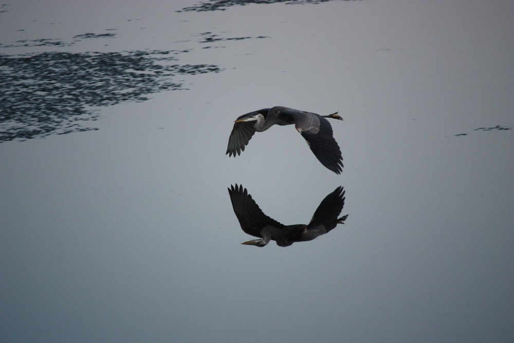 reflection of flying bird on water
