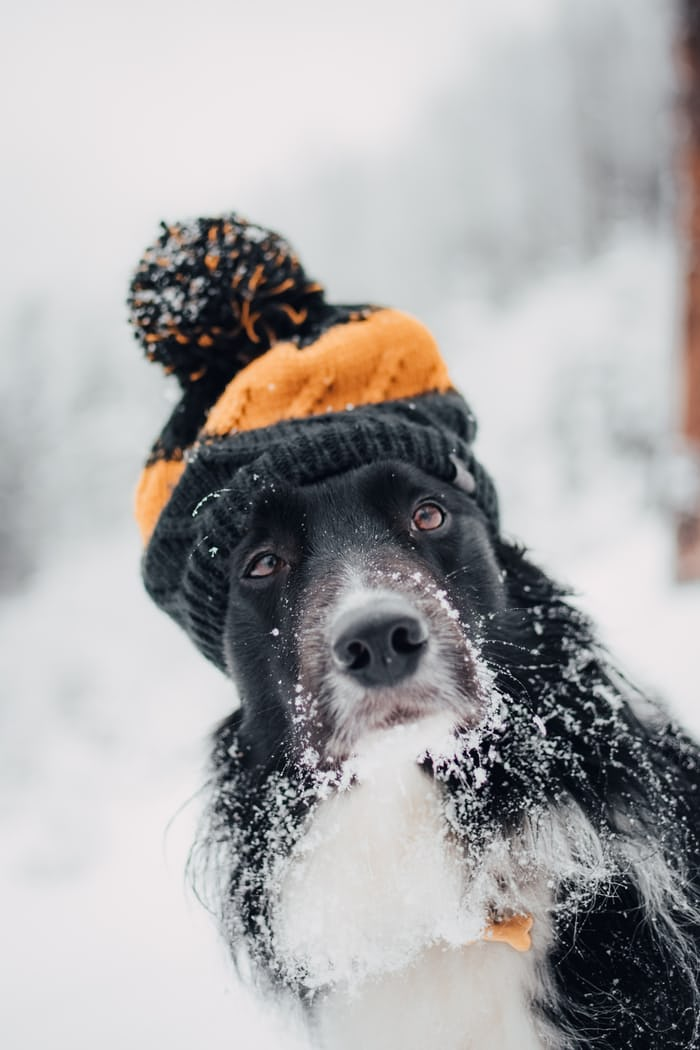 A dog out in snow with a scarf and hat.