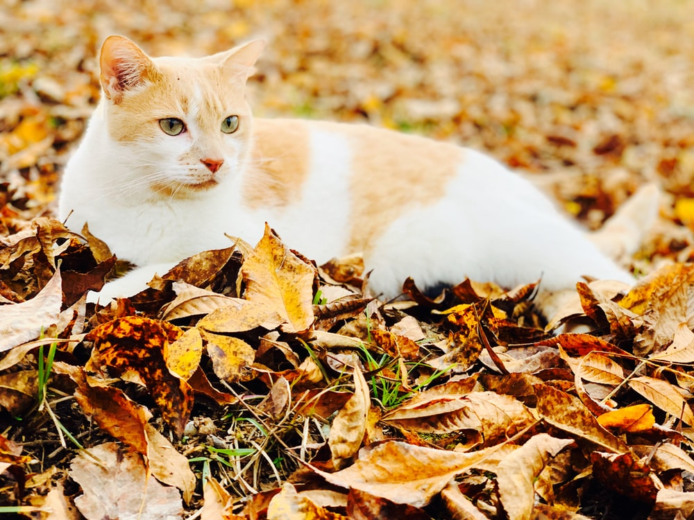 white and orange cat on dried leaves