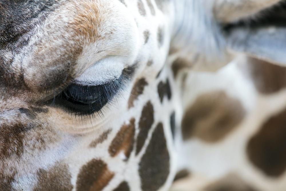 portrait of brown and white giraffe