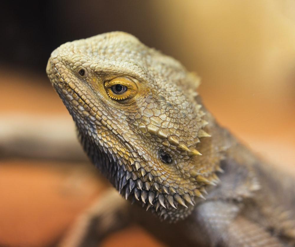 shallow focus photography brown-bearded dragon