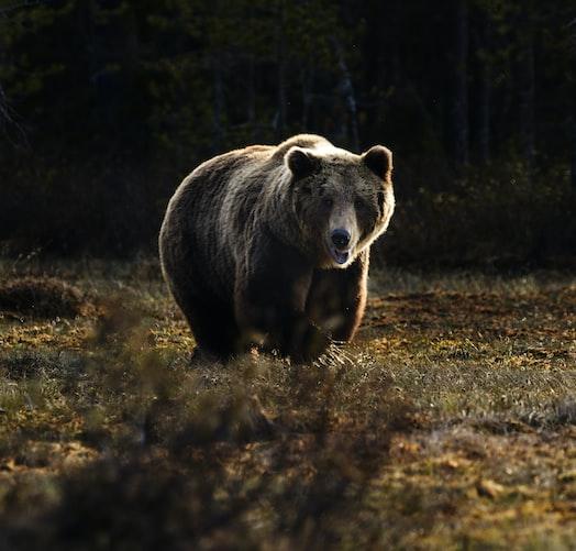 Ilustrasi beruang.