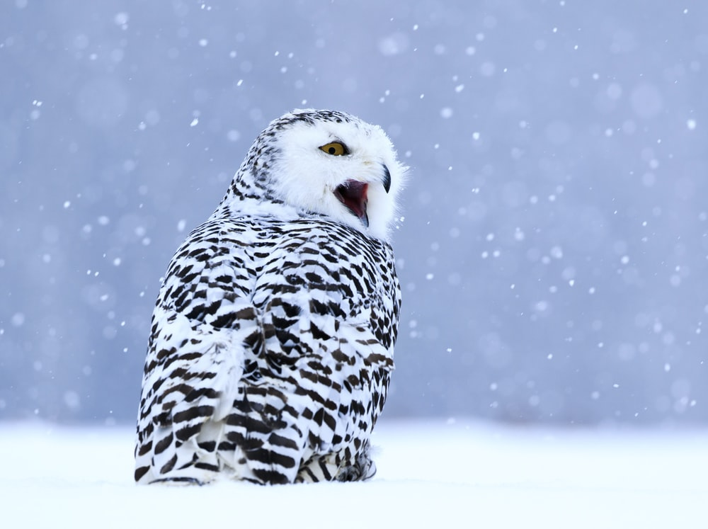 white and black owl on snow covered field