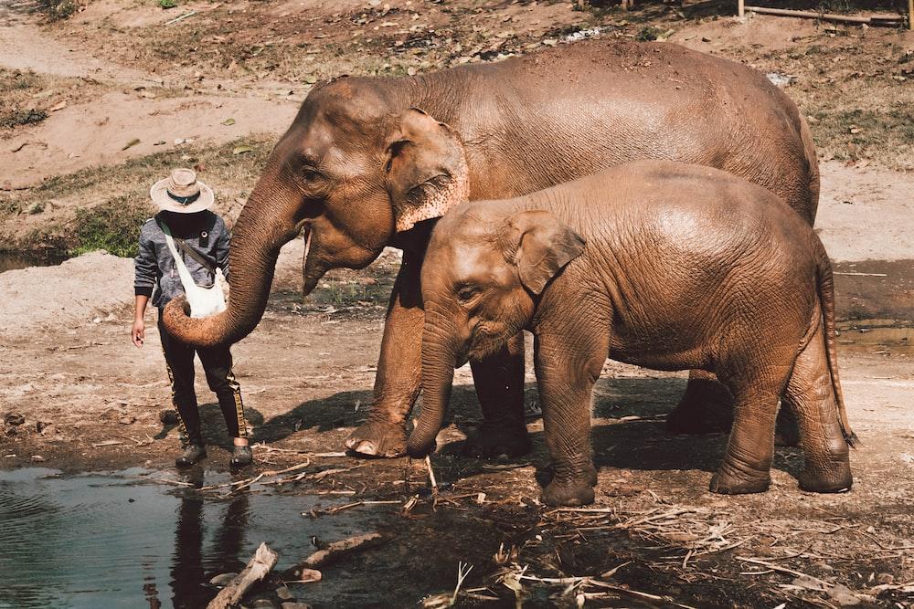 person near two brown elephants near body of water