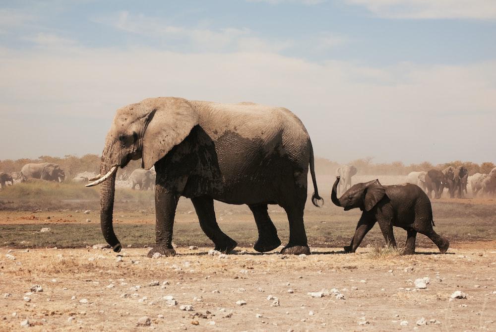 two grey elephants walking under grey sky