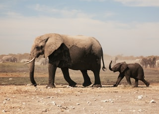 two grey elephants walking under grey sky