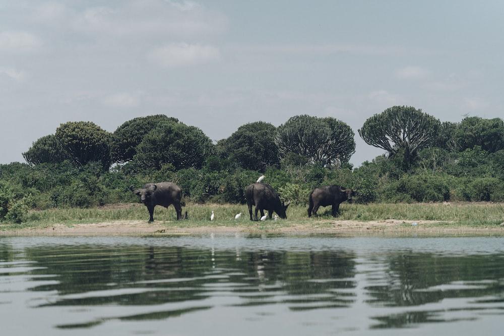 three black water buffalos standing beside body of water