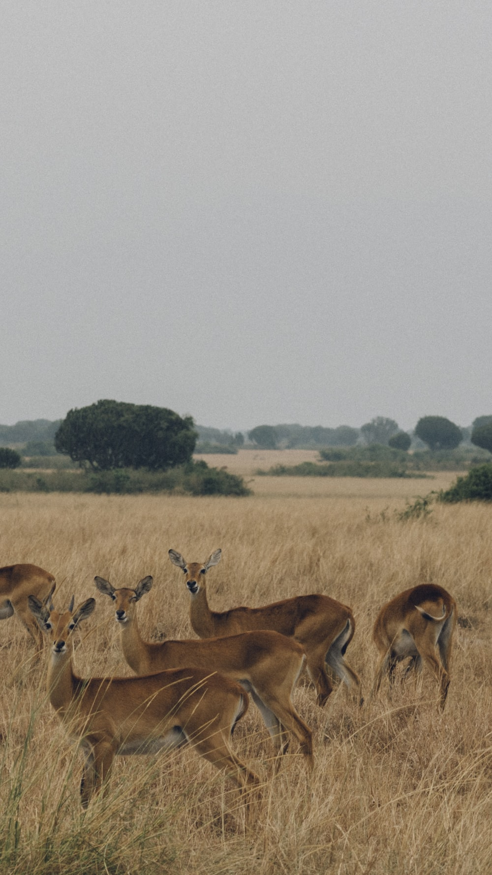 five brown deer's surrounded by brown grass