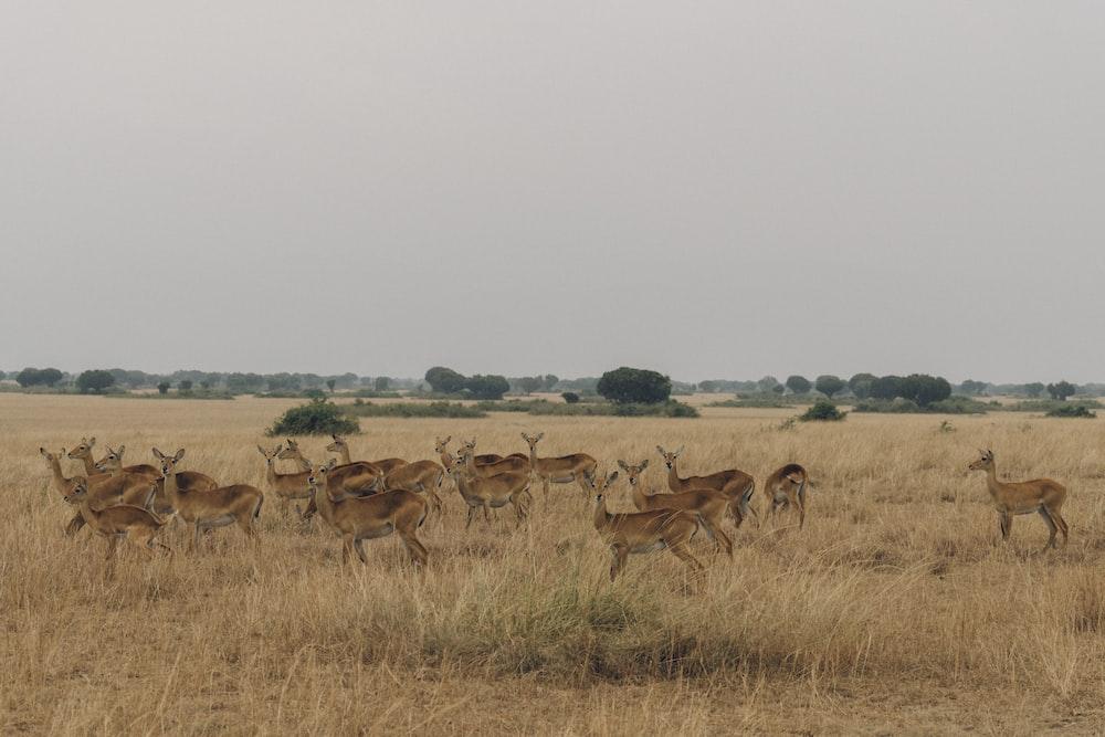 group of brown deer on brown grass field