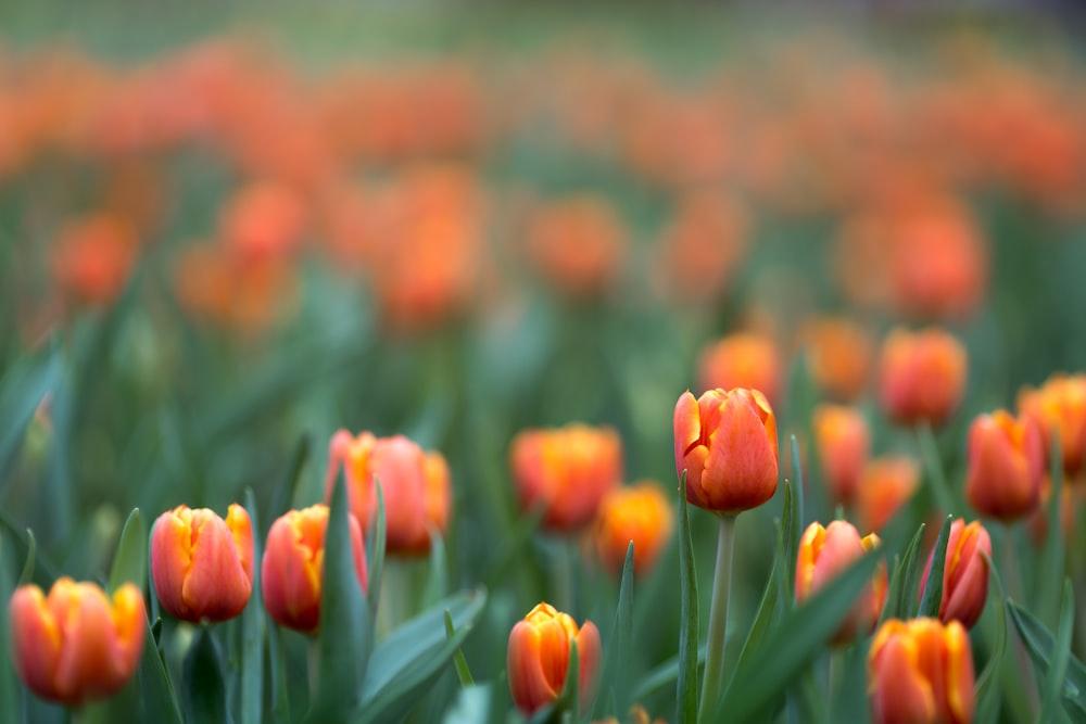 red tulip flower field
