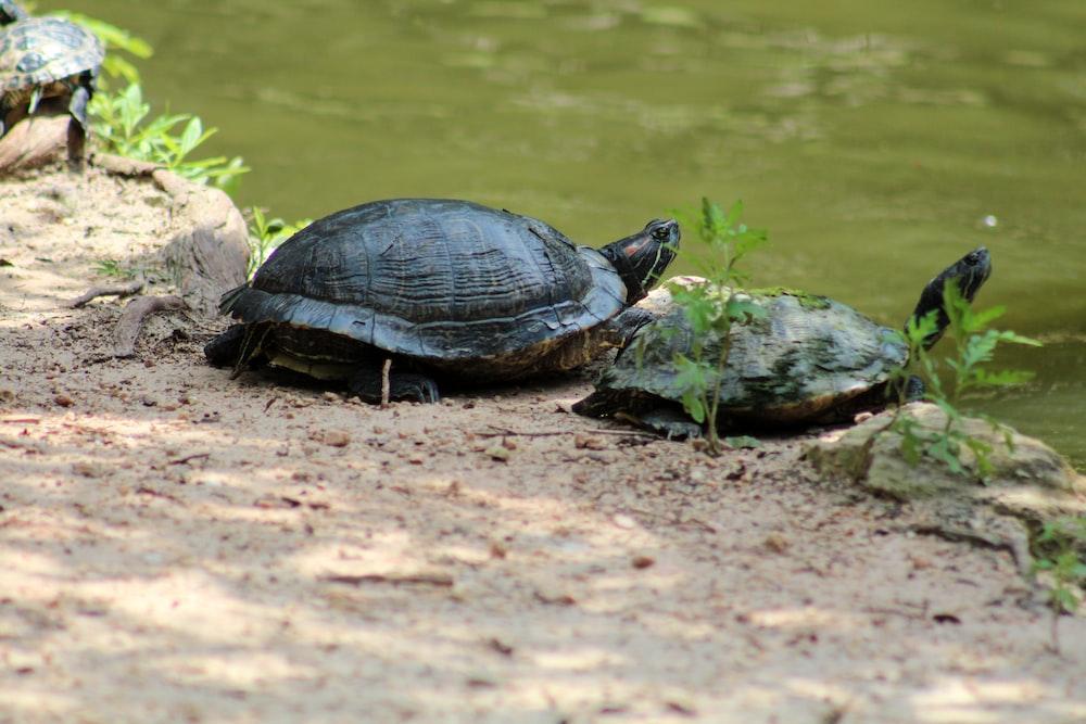 two brown turtles near pond
