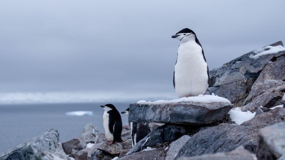 white-and-black penguins on rocks