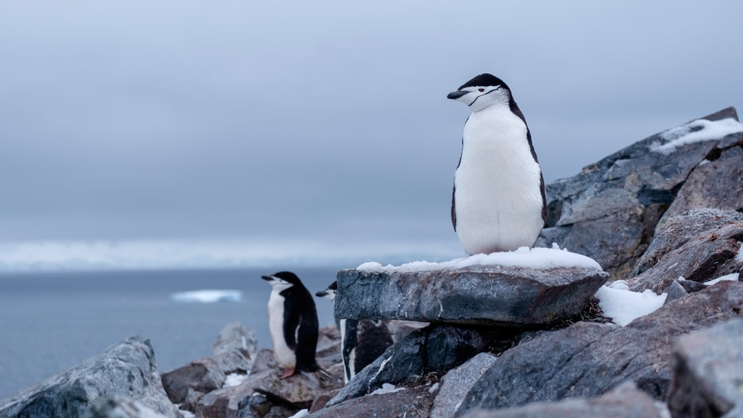 Chinstrap penguin in a colony on Two Hummock island