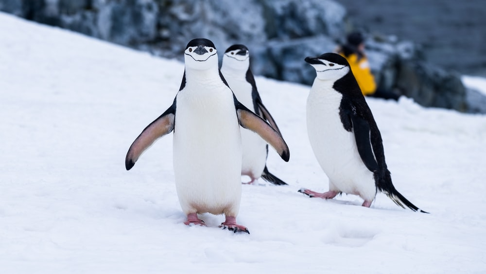 penguins on snow covered fields during daytime