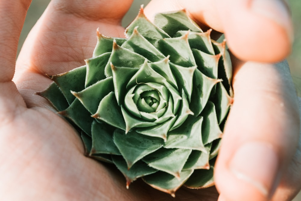 person holding succulent