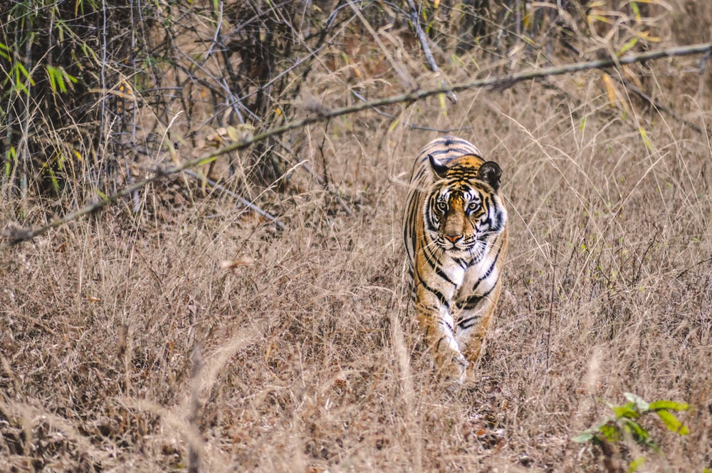 adult tiger walking on brown grass