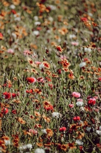 selective focus photography of red-and-yellow petaled flower field
