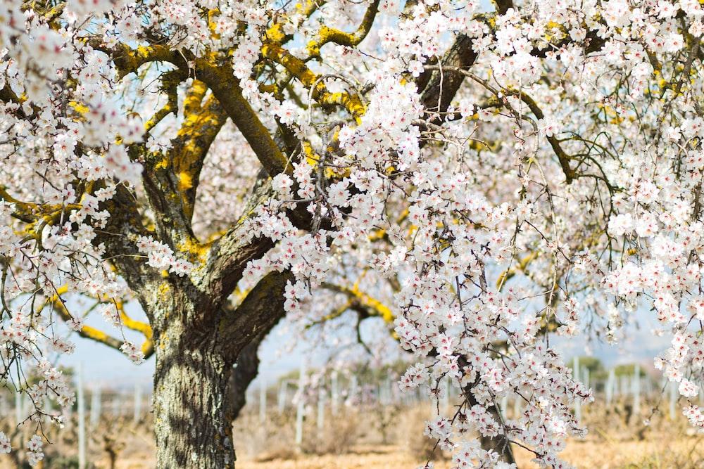 white cherry blossom trees during daytime