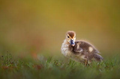 brown duckling on green grass field