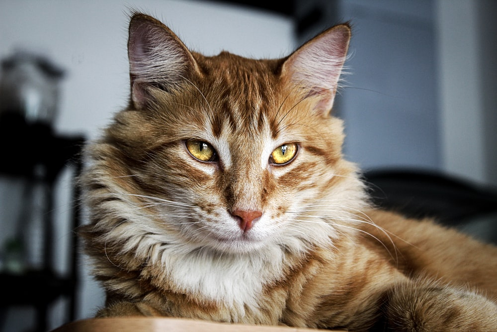 long-furred brown cat with yellow eyes