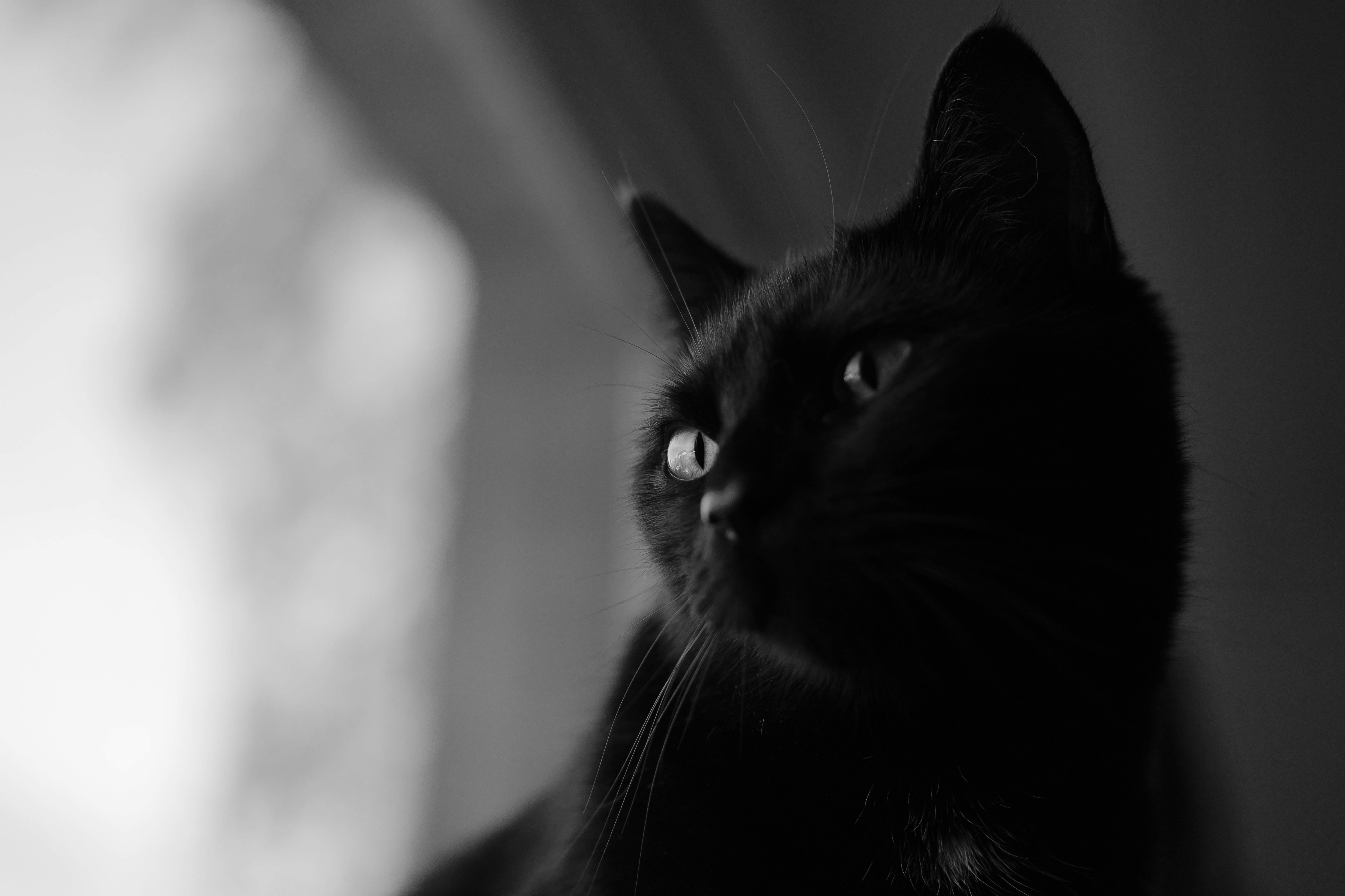 close-up photography of black cat