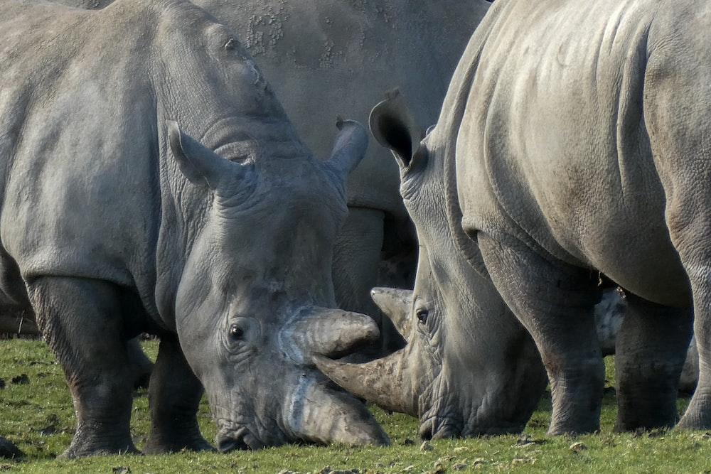 two rhinoceros on grass field