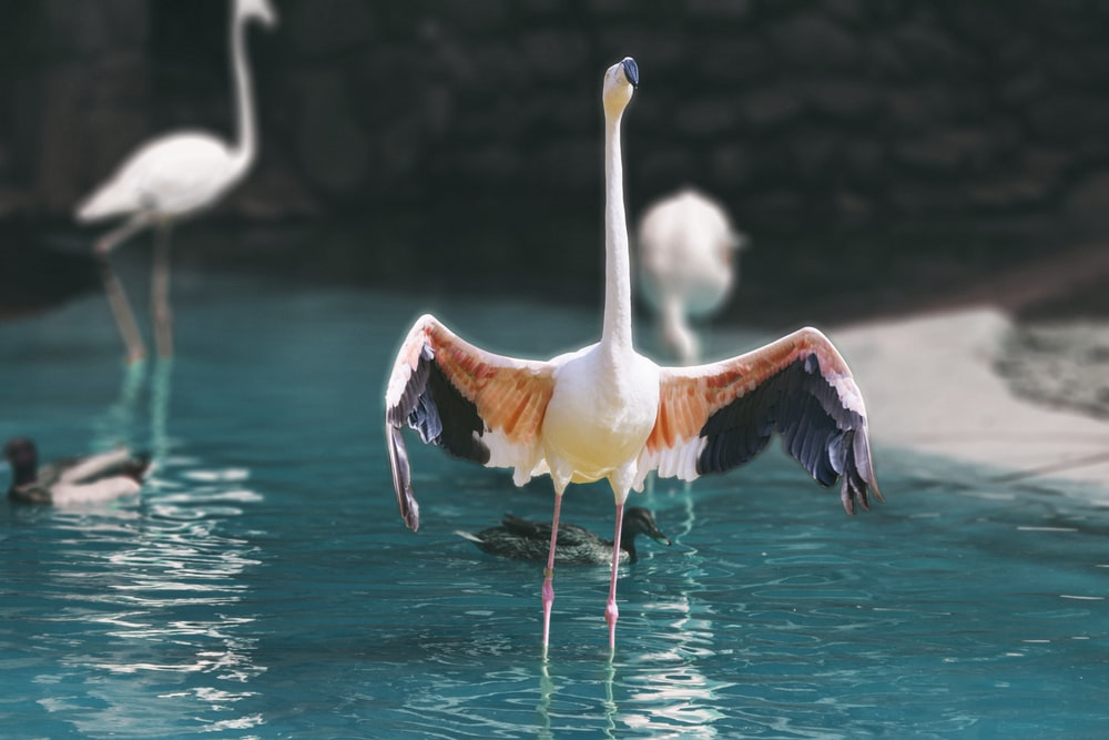 flamingo spreading it's wings standing on body of water