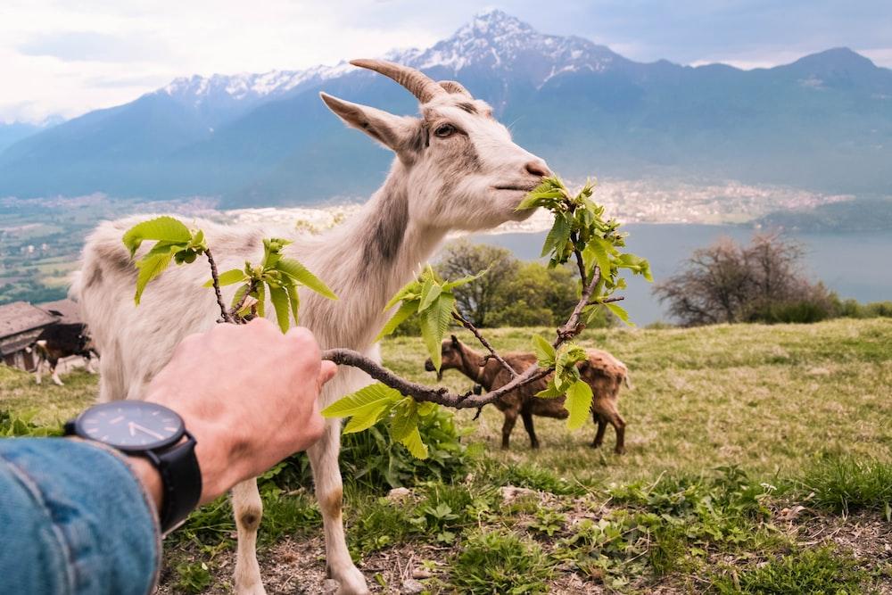 white goat eating leaves