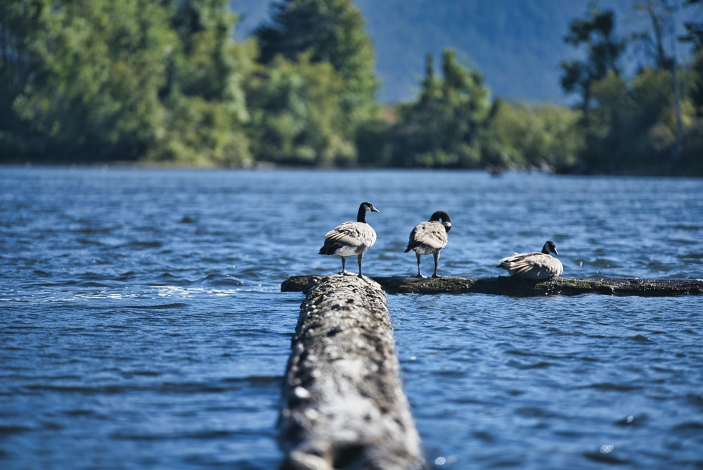 three duck on dock