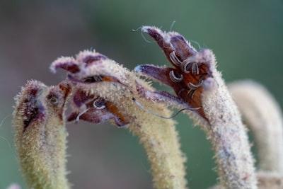 brown flower bud