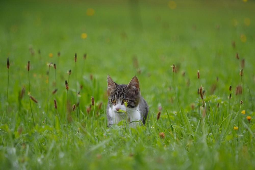 silver tabby kitten on grass field