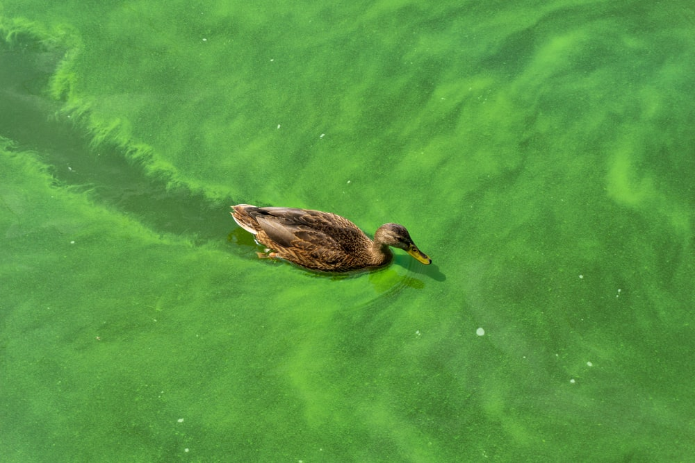 brown mallard duck swimming on body of water