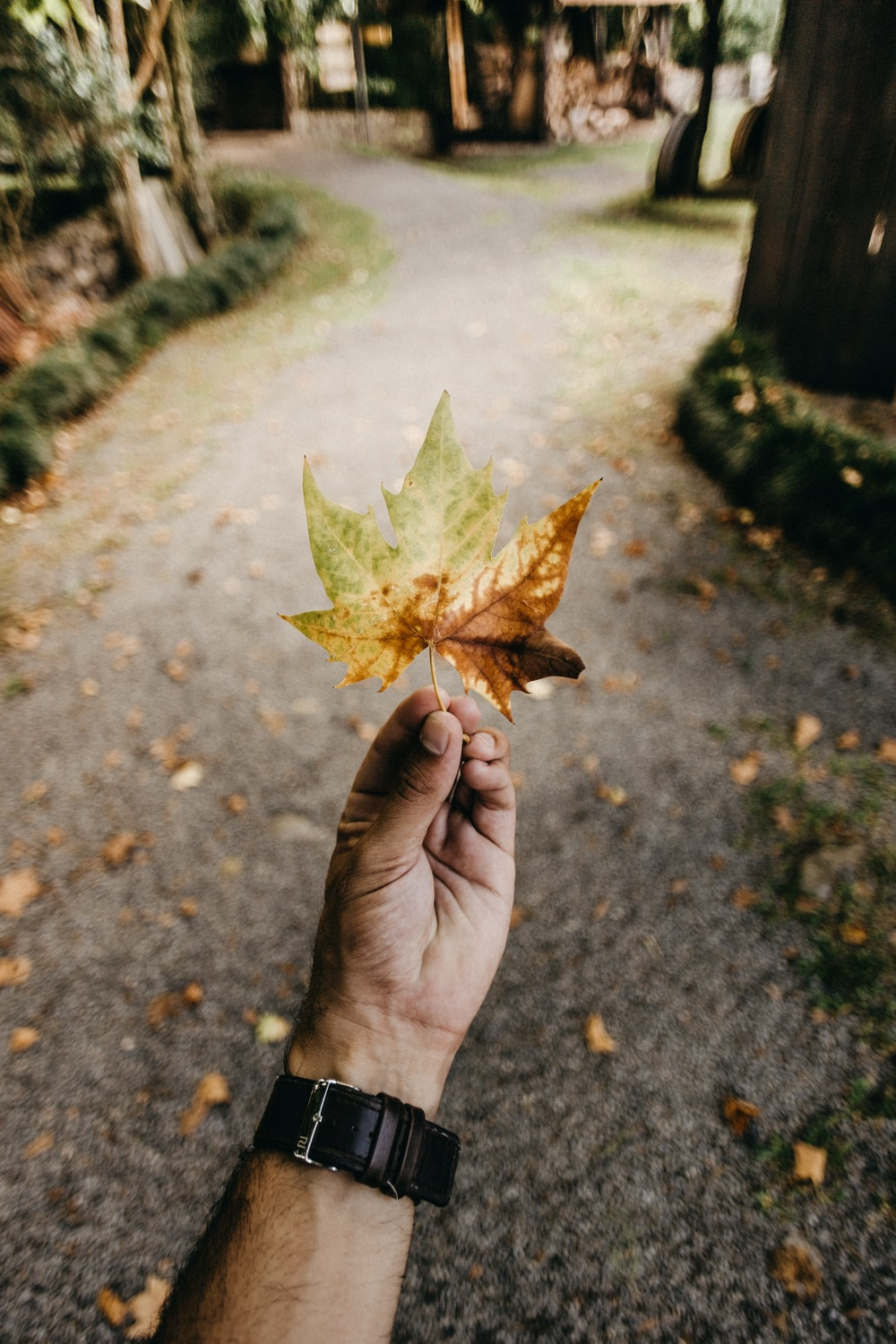 person holding brown and green maple leaf
