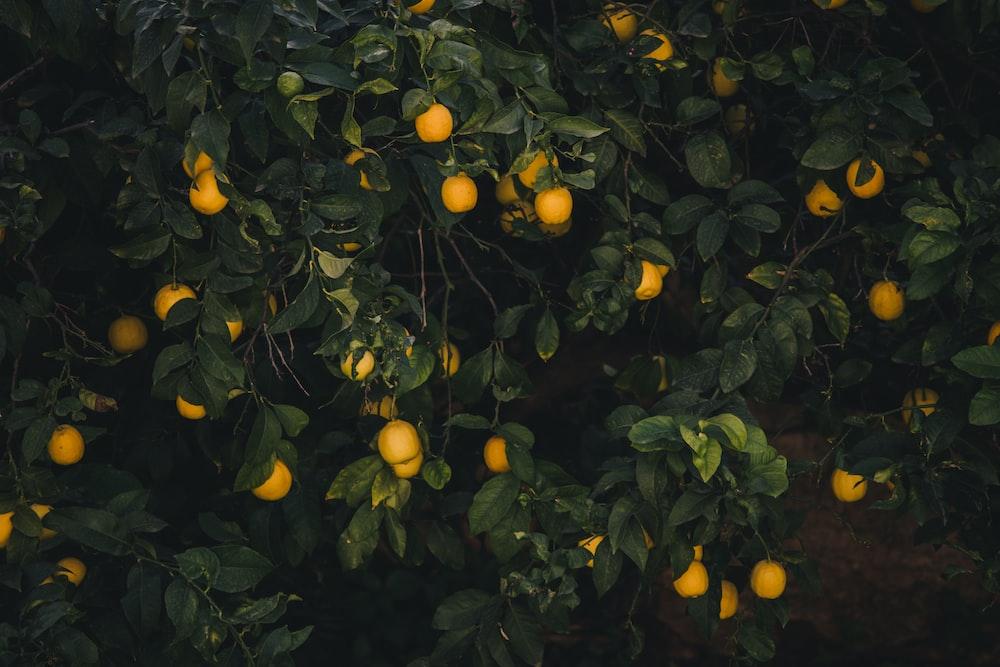 yellow fruits on tree