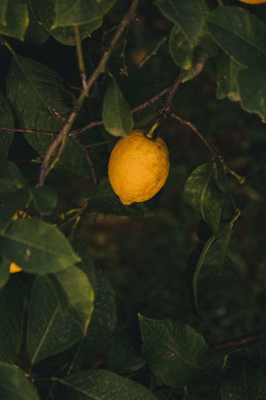yellow lemon plant