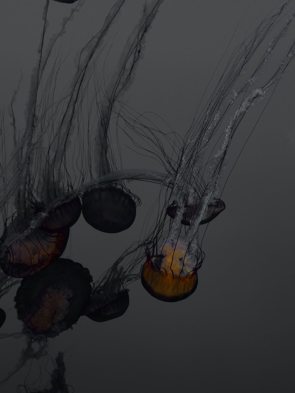 jellyfish illustration