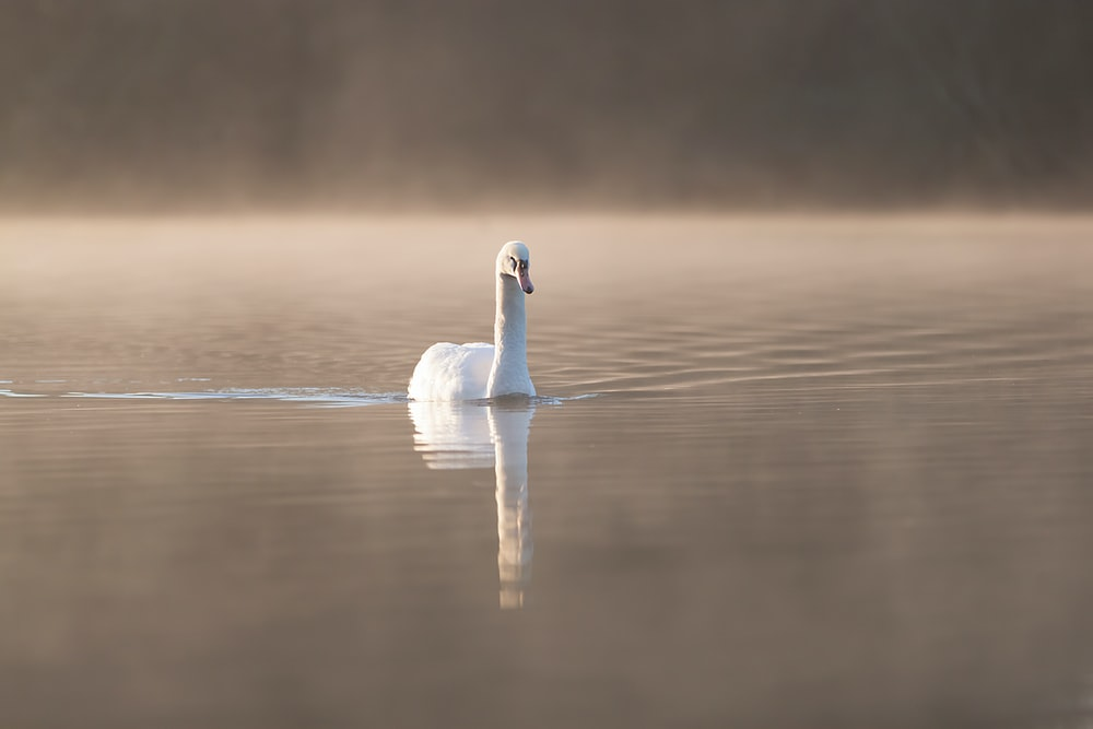 selective focus photography of swan